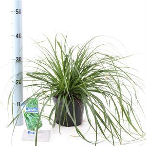 Afbeelding van Carex osh. Evergreen
