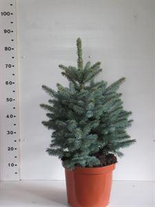 Afbeelding van Picea pungus Super Blue