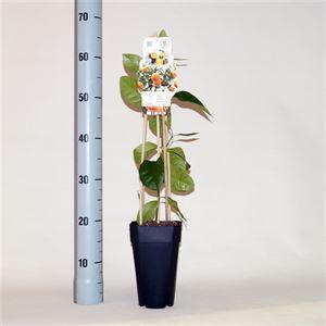 Picture of Citrus sinensis Orangin