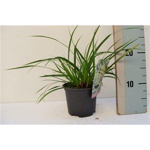 Afbeelding van Carex Morrowii