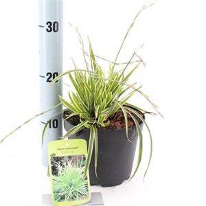 Picture of Carex morrowii Vanilla Ice