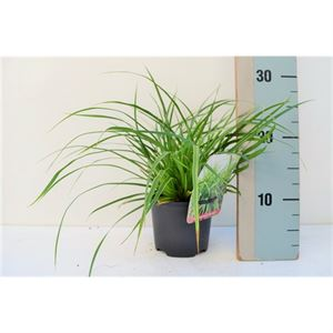 Picture of Carex Morrowii Variegata