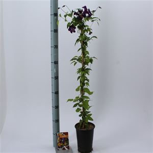 Picture of Clematis Etoile Violette