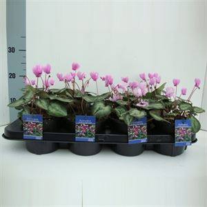 Picture of Cyclamen hederifolium Silver me Pink