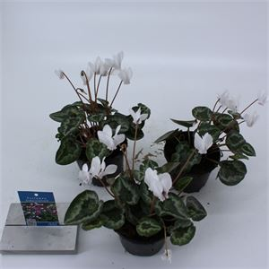 Picture of Cyclamen hederifolium Silver me White