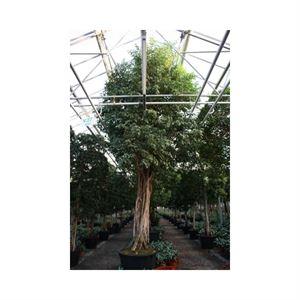 Picture of Ficus exotica op stam