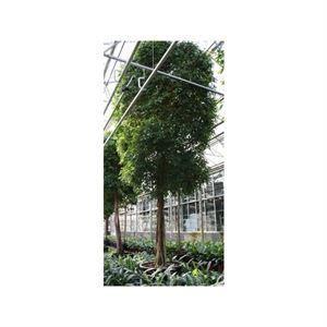 Afbeelding van Ficus exotica op stam
