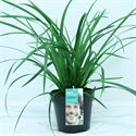 Picture of Carex morrowii Irish Green