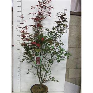 Afbeelding van Acer palm. Atropurpureum 150-175 P34