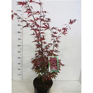 Afbeelding van Acer palm. Atropurpureum 80-100 P28