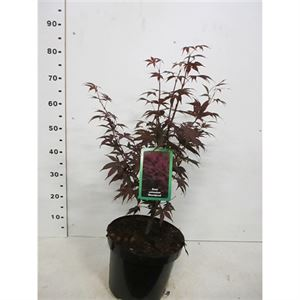 Picture of Acer palm. Bloodgood 50-60 P26