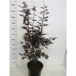 Afbeelding van Acer palm. Bloodgood 80-100 P30