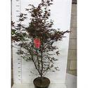 Afbeelding van Acer palm. Fireglow 125-150 P32