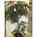 Afbeelding van Acer palm. Garnet 125-150 P38