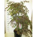 Afbeelding van Acer palm. Inaba-shidare 100-125 P34