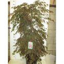 Afbeelding van Acer palm. Inaba-shidare 125-150 P38