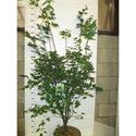 Picture of Acer palm. Osakazuki 150-175 P38
