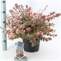Picture of Abelia grandiflora Magic Daydream