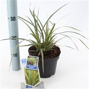 Picture of Carex morrowii Everglow
