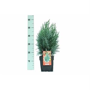 Picture of Chamaecyparis lawsoniana Pelts Blue