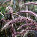 Picture of Pennisetum setaceum Rubrum