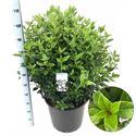Afbeelding van Viburnum tinus