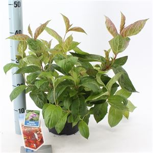 Afbeelding van Weigela florida Wings of Fire