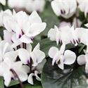 Picture of Cyclamen coum Cyberia White