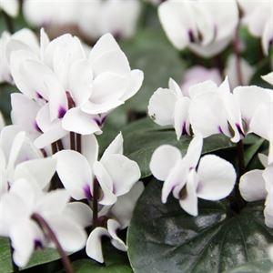 Picture of Cyclamen coum Cyberia White