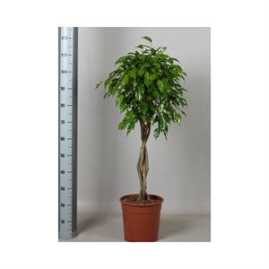 Afbeelding van Ficus exotica gevlochten stam