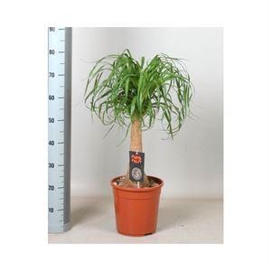 Afbeelding van Beaucarnea maya palm