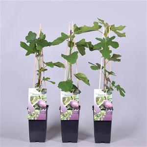 Afbeelding van Ficus carica Rouge de Bordeaux