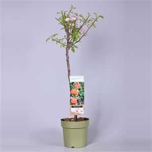 Picture of Malus domestica Patiobomen 'Elstar' 100% Fruit
