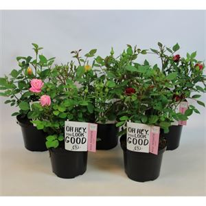 Picture of Rosa PatioHit® for garden