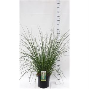 Picture of Cortaderia selloana Evita