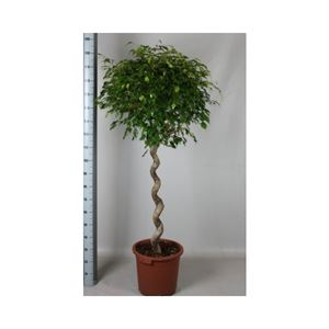 Afbeelding van Ficus exotica kurketrekker