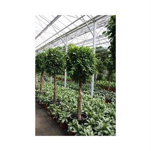 Afbeelding van Ficus nitida op stam