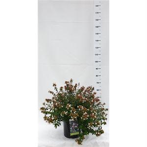 Afbeelding van Abelia x grandiflora