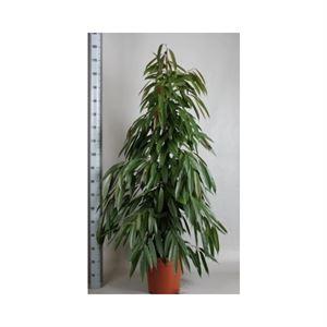 Afbeelding van Ficus amstel king pyramide
