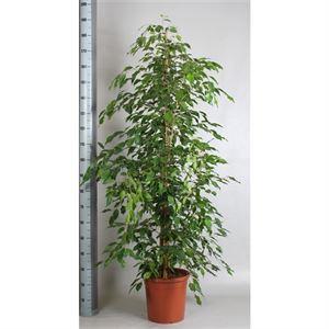 Afbeelding van Ficus exotica pyramide