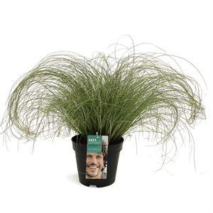 Afbeelding van Carex comans Frosted Curls