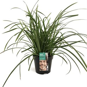 Picture of Carex morrowii Ice Dance