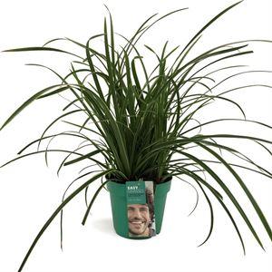Picture of Carex morrowii Ice Dance in gekleurde pot
