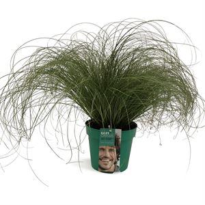 Afbeelding van Carex comans Frosted Curls in gekleurde pot