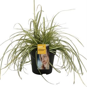 Picture of Carex hachijoensis Evergold