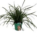 Picture of Carex morrowii Irish Green in gekleurde pot