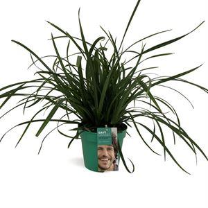 Afbeelding van Carex morrowii Irish Green in gekleurde pot