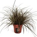 Picture of Uncinia rubra Everflame in gekleurde pot
