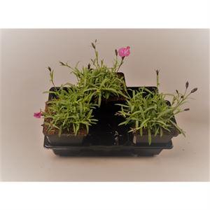 Picture of Dianthus gratianopolitanus Dianturi Twinkle
