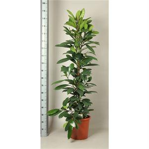 Afbeelding van Ficus cyathistipula